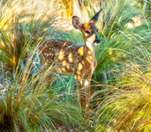 fawn in feathergrass