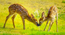 fawn twins play