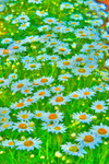 the daisy field